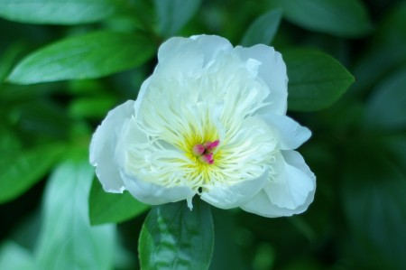 Another Peony...