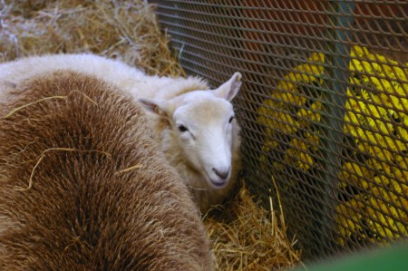 Blurry Sheep...