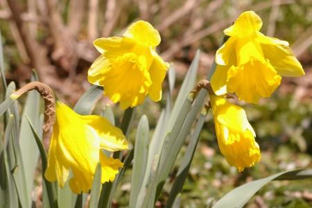 Daffodils outside my window...