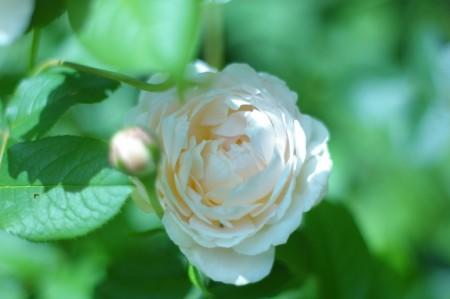 English Rose...